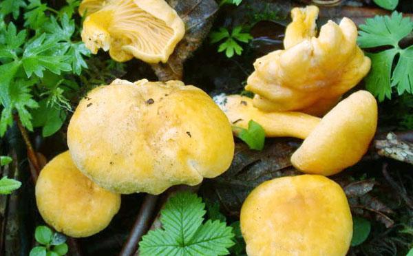 什么是白鸡油菌