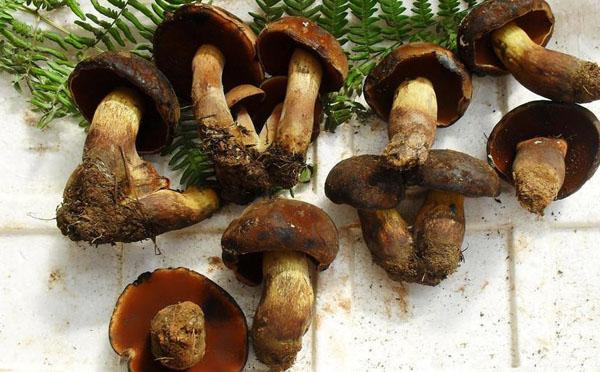 黑牛肝菌的种类