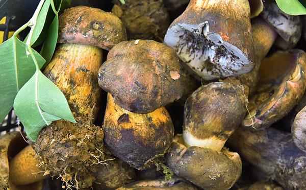 黄牛肝菌的营养价值与功效作用