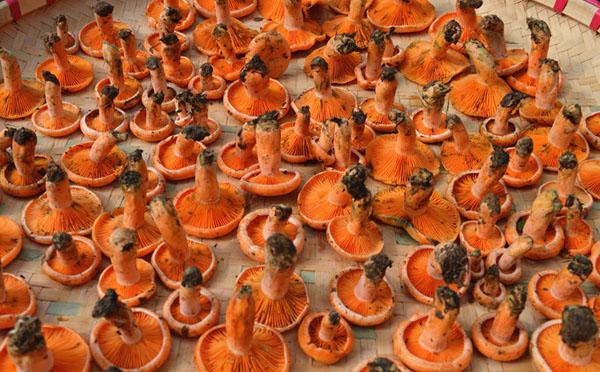 谷熟菌能人工种植吗