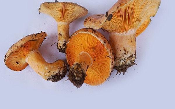 谷熟菌的功效与作用