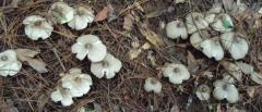 鸡枞菌的种植难吗