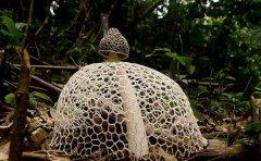 竹荪的营养价值及功效与作用