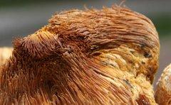 干猴头菇的泡发方法