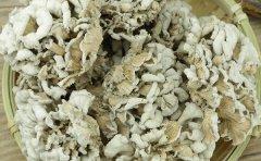 白参菌如何人工栽培