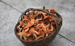 松乳菇的产地