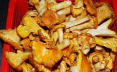鸡油菌和鸡枞菌有哪些区别