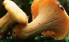 鸡油菌与松茸菌可否同食