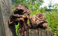 黑虎掌菌几月出