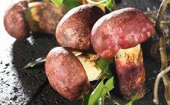 关于红葱菌,铜绿菌和松子菌的区别