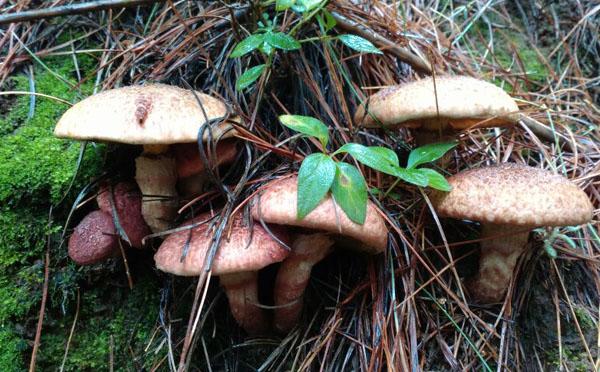 红葱菌,铜绿菌和松子菌