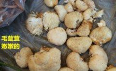 新鲜猴头菇怎么保存最耐放