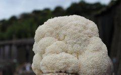 新鲜猴头菇怎么洗最干净