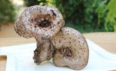 黑虎掌菌都生在什么地方
