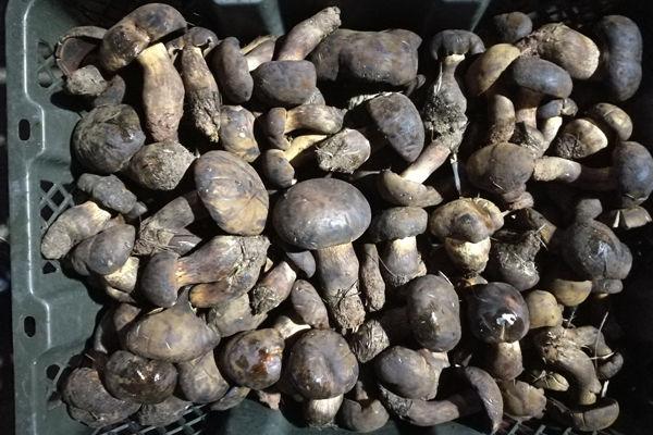 新鲜黑牛肝菌价格